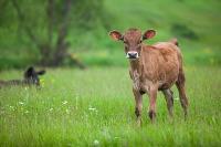 Коровы, свиньи и горы навоза в деревне Кукуй: Роспотреб требует запрета деятельности токсичной фермы, Фото: 13