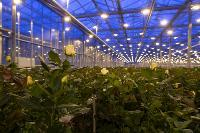 Миллион разных роз: как устроена цветочная теплица, Фото: 3
