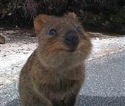 Квокка - самое счастливое существо на планете, Фото: 2