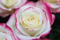 Ассортимент тульских цветочных магазинов. 28.02.2015, Фото: 52