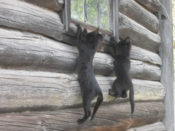 Яснополянские котята