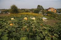 Гигантские тыквы из урожая семьи Колтыковых, Фото: 15