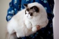 Выставка кошек. 4 и 5 апреля 2015 года в ГКЗ., Фото: 66