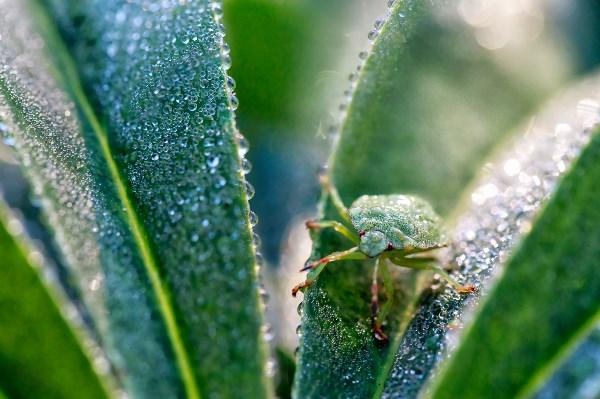 Клоп (Palomena prasina - Щитник зеленый) в каплях утренней росы