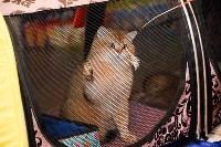 Выставка кошек в Искре, Фото: 63