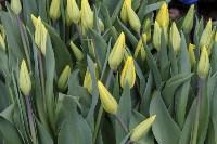 Тюльпаны , Фото: 1