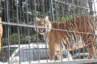 Тигры в городе!, Фото: 10