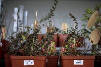 Саженцы в Леруа Мерлен, Фото: 67