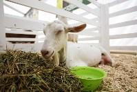 Выставка коз в Туле, Фото: 7
