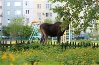 Лось во дворе дома №45 по ул. Плеханова, Фото: 14