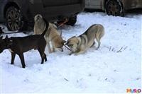 Куликово поле. Гонки на собачьих упряжках., Фото: 4