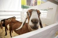 Выставка коз в Туле, Фото: 6