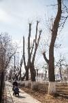 Деревья, кронированные три года назад., Фото: 4