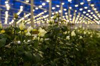Миллион разных роз: как устроена цветочная теплица, Фото: 25