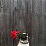 Фотогеничный пес Норм из Сиэтла, Фото: 9