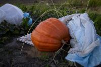 Гигантские тыквы, Фото: 16