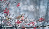 Дрозды-рябинники в Туле, Фото: 50