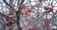 Дрозды-рябинники в Туле, Фото: 28