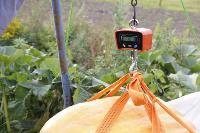 Гигантские тыквы из урожая семьи Колтыковых, Фото: 38