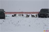 Куликово поле. Гонки на собачьих упряжках., Фото: 133