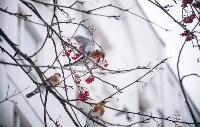 Дрозды-рябинники в Туле, Фото: 2