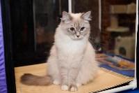 Выставка кошек в Искре, Фото: 10