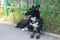 В Туле супруги воспитывают собаку с ампутированными передними лапами