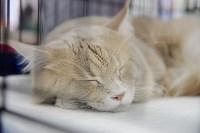 Выставка кошек в Туле, Фото: 78