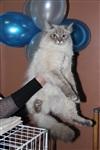 В Туле прошла международная выставка кошек, Фото: 6