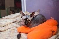 В Туле прошла выставка «Пряничные кошки» , Фото: 86
