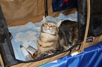 В Туле прошла международная выставка кошек, Фото: 15