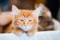 Международная выставка кошек. 16-17 апреля 2016 года, Фото: 79