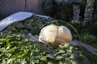 Гигантские тыквы, Фото: 14