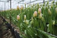 Тюльпаны , Фото: 3