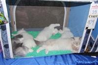 В Туле прошла международная выставка кошек, Фото: 39