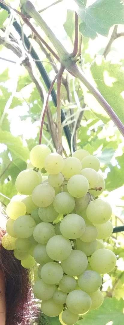 Вот такой виноград на даче у сестры, будем кушать