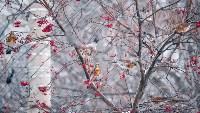 Дрозды-рябинники в Туле, Фото: 25