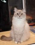 Выставка кошек в Искре, Фото: 8