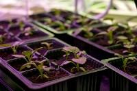 Леруа Мерлен: Какие выбрать семена и правильно ухаживать за рассадой?, Фото: 10